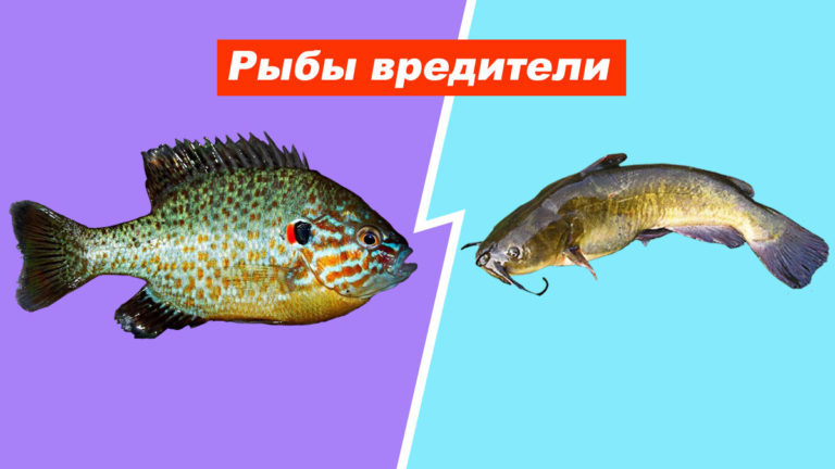 Рыбы вредители