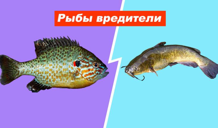 Как гость стал хозяином: рыбы вредители завезенные из-за рубежа