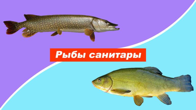 Рыбы санитары