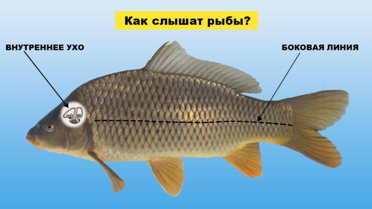 Как слышат рыбы