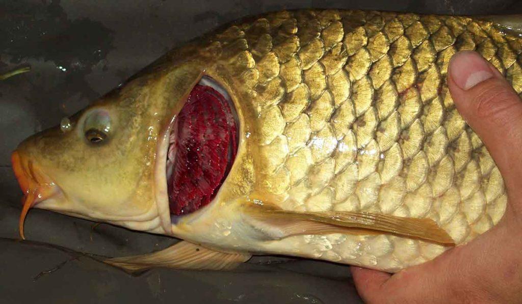 Как определить свежесть рыбы по жабрам